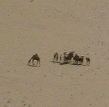 camels not appreciating low flying helicopter
