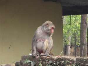 rhesus monkey just hanging out.