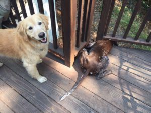 """Retriever saying """"who me? - I'm a good dog"""""""